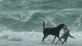 Twee honden die op het strand spelen stock footage