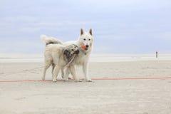 Twee honden die op het strand spelen Royalty-vrije Stock Afbeeldingen