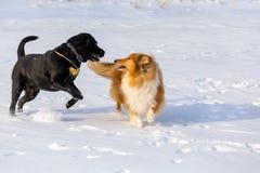 Twee honden die samen op het gebied van de de wintersneeuw spelen, royalty-vrije stock foto