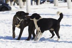 Twee Honden die in sneeuw spelen Stock Foto's