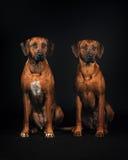 Twee honden die van Rhodesian ridgeback op zwarte achtergrond zitten Stock Foto