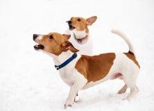 Twee honden die veeleisende eigenaar ontschorsen om stuk speelgoed te werpen stock afbeeldingen