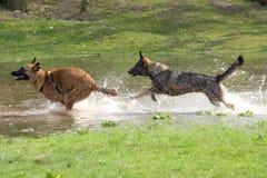 Twee honden die in water spelen Stock Afbeeldingen