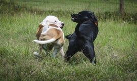 Twee Honden die weg miskleunen Royalty-vrije Stock Afbeelding
