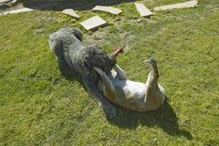 Twee honden die in werf in Tucson, AZ spelen stock afbeeldingen