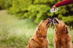 Twee honden drinken water Stock Foto's