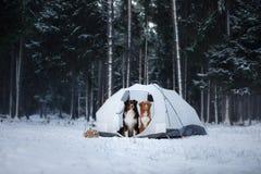 Twee honden in een tent Wandeling in de winterbos royalty-vrije stock afbeeldingen
