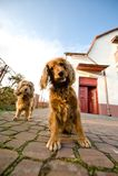 Twee honden in een voorzijde van huis Royalty-vrije Stock Foto's