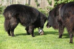 Twee honden geinteresseerd in verse vissen Stock Afbeeldingen