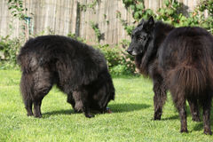 Twee honden geinteresseerd in verse vissen Stock Foto