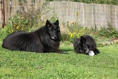 Twee honden geinteresseerd in verse vissen Royalty-vrije Stock Foto's