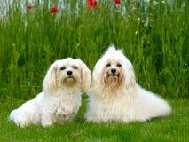 Twee honden, gras en bloemen stock foto