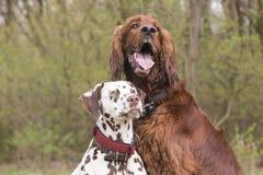 Twee honden het kijken Stock Foto's
