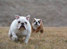 twee honden het lopen Stock Foto