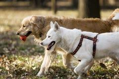 Twee honden in het park Stock Afbeelding