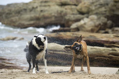 Twee honden het schudden stock foto