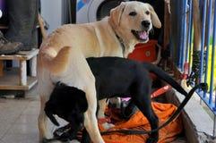 Twee honden het spelen Royalty-vrije Stock Afbeelding
