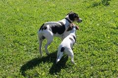 Twee honden het spelen Royalty-vrije Stock Foto's