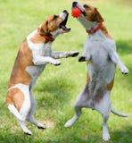 Twee honden het spelen royalty-vrije stock foto