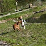 Twee honden het spelen Stock Afbeeldingen
