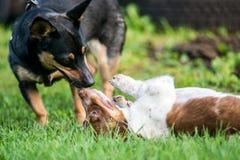 Twee honden het spelen Stock Foto's