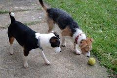 Twee honden het spelen Stock Foto