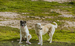 Twee honden in Iraaks platteland stock afbeelding