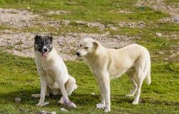 Twee honden in Iraaks platteland stock foto's
