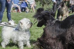 Twee Honden komen in park samen Royalty-vrije Stock Afbeeldingen