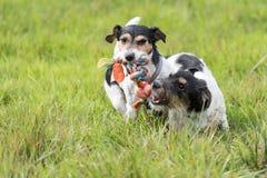 Twee honden lopen en spelen met een bal in een weide Een jong leuk Jack Russell Terrier-puppy met haar wijfje royalty-vrije stock foto