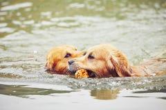Twee honden in meer Stock Afbeelding