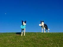 Twee Honden met Schijven zijn Klaar te spelen Stock Afbeeldingen