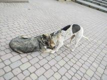 Twee honden op een asfalt Stock Foto's