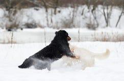 Twee honden op een de wintergang Stock Foto