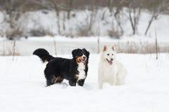 Twee honden op een de wintergang Royalty-vrije Stock Foto's
