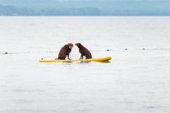 Twee honden op een peddelraad Stock Foto