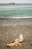 Twee honden rusten, die op het zand door het overzees liggen Stock Foto's