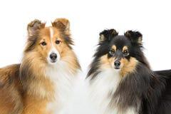 Twee honden Sheltie royalty-vrije stock afbeeldingen