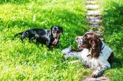 Twee honden spelen ruw in gras Royalty-vrije Stock Afbeelding