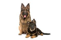 Twee honden van de Duitse herder royalty-vrije stock foto's