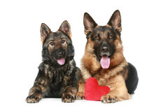 Twee honden van de Duitse herder met het rode hart van de Valentijnskaart Stock Fotografie