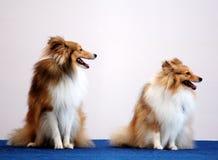 Twee honden van de Koelie Royalty-vrije Stock Foto's