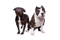 Twee honden van de kuilstier Stock Foto's