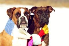 Twee honden van de zitting van de rassenbokser in de winter op sneeuw Royalty-vrije Stock Foto