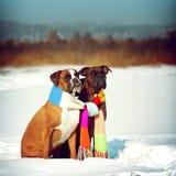 Twee honden van de zitting van de rassenbokser in de winter op sneeuw, vennoot Stock Foto