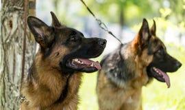 Twee honden van een herdershond op de aard stock foto's