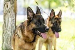 Twee honden van een herdershond op de aard royalty-vrije stock afbeelding