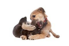 Twee honden van het whippetpuppy Royalty-vrije Stock Afbeeldingen