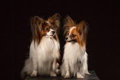 Twee honden van ras papillon op een zwarte achtergrond royalty-vrije stock fotografie