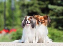 Twee honden van ras Papillon Phalen, en zitten op de straat stock afbeelding
